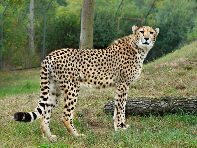 Gepard immagini stock