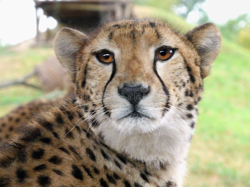 Gepard immagine stock libera da diritti