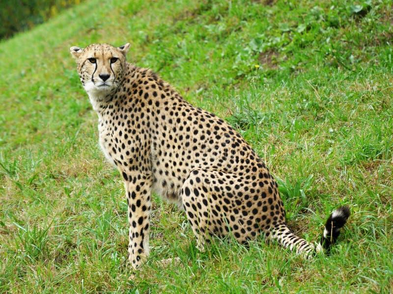 Gepard fotografie stock libere da diritti