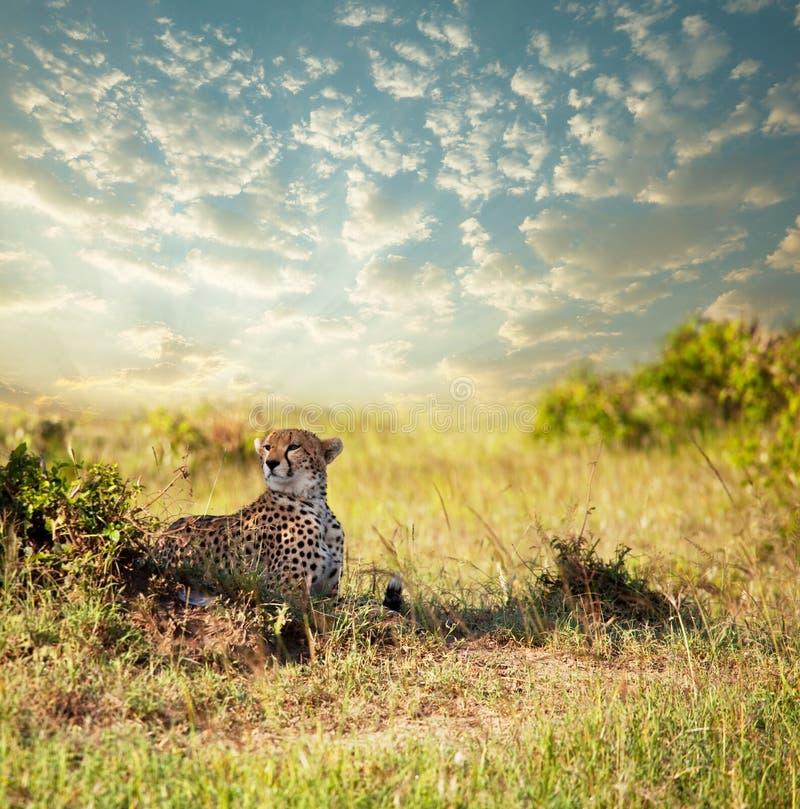 Gepard fotografie stock