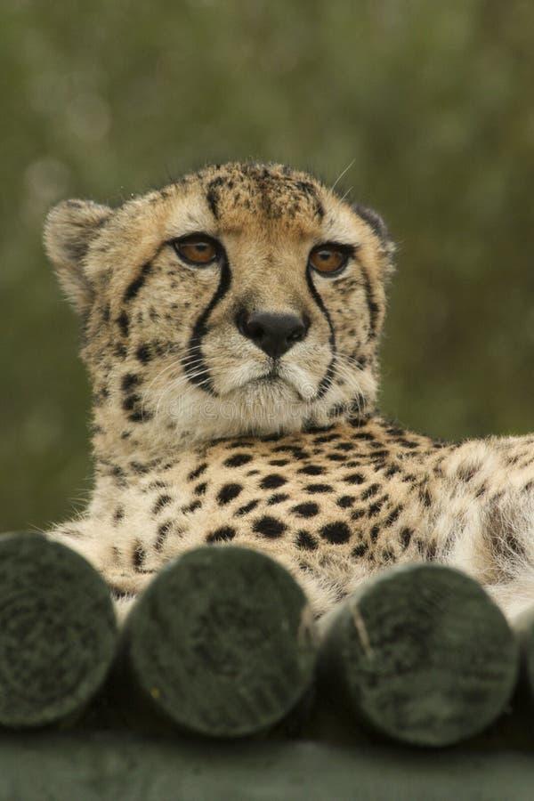 1069 gepard gesicht fotos  kostenlose und royaltyfree