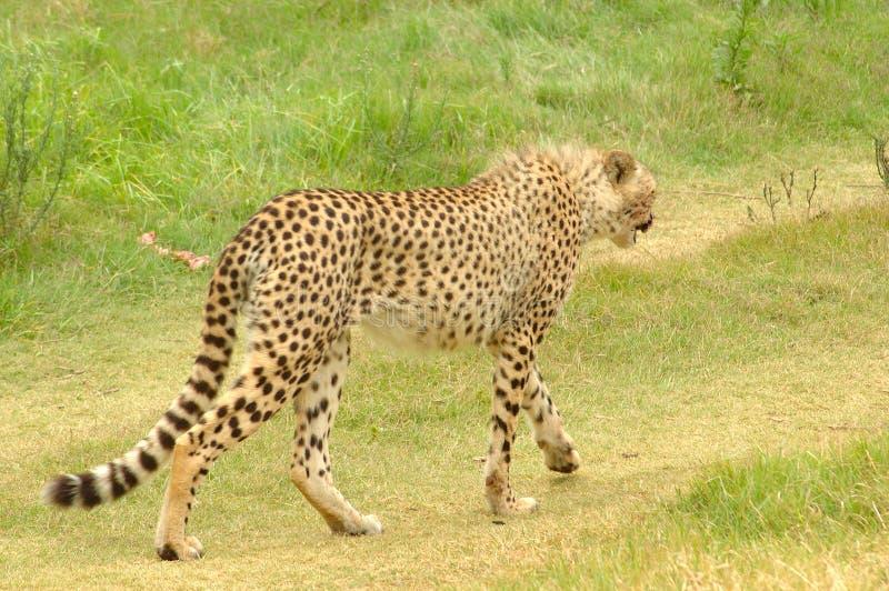Download Gepard zdjęcie stock. Obraz złożonej z wzór, gepard, punkty - 2395448