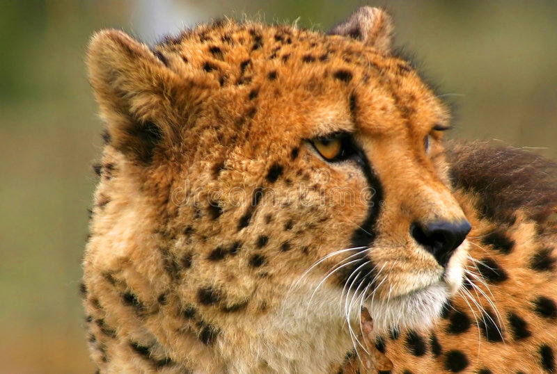 Gepard lizenzfreies stockfoto