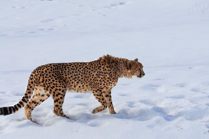 Gepard lizenzfreie stockfotos