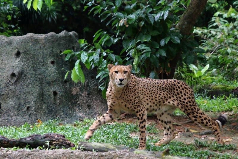 Gepard 1 lizenzfreie stockfotos