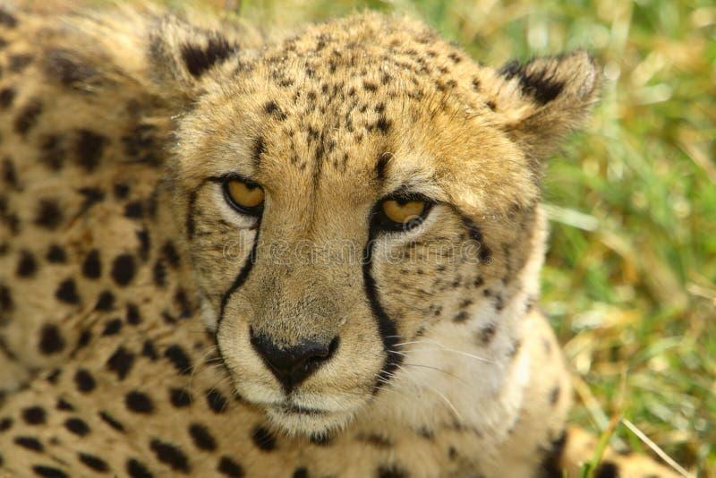 gepard fotografia royalty free
