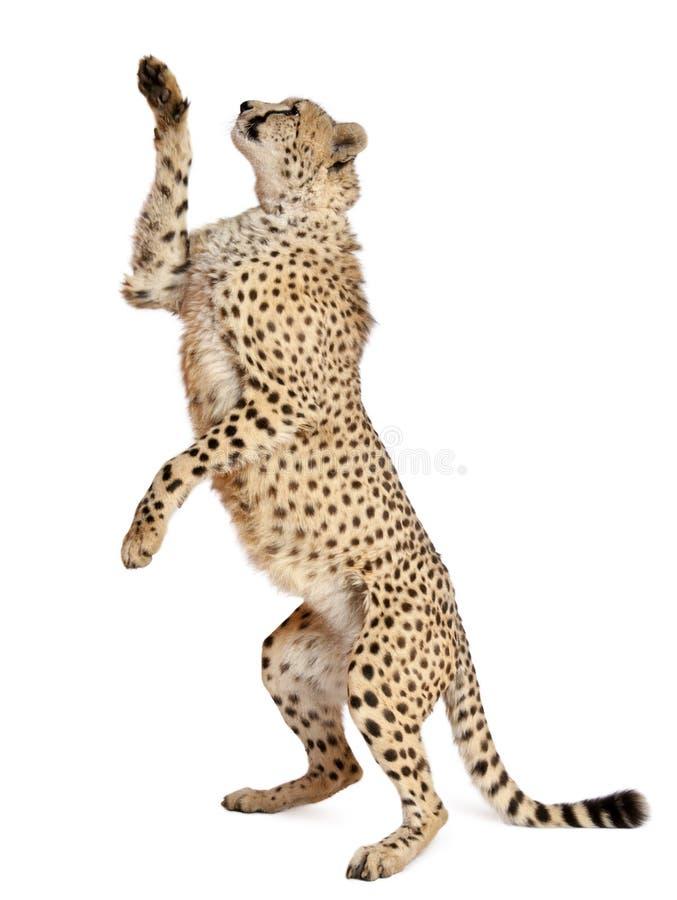 Gepard, Acinonyx jubatus lizenzfreies stockbild
