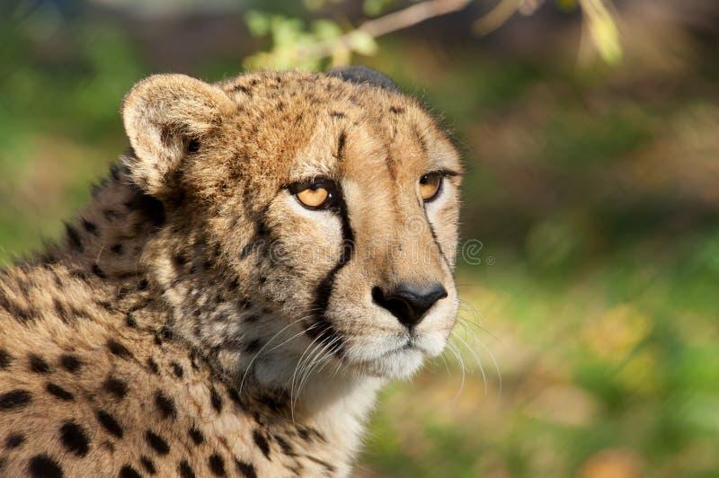 Gepard - (Acinonyx jubatus) lizenzfreie stockfotos