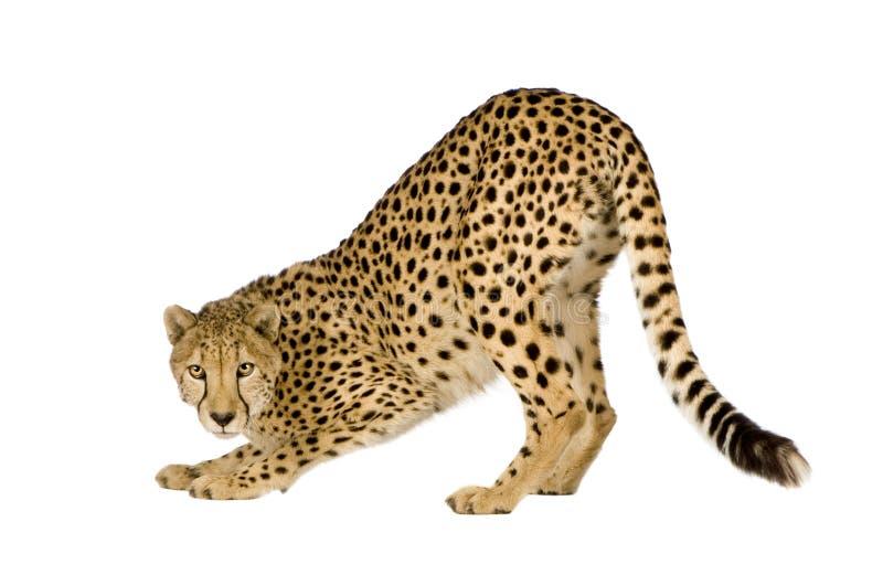 Gepard - Acinonyx jubatus lizenzfreie stockfotos