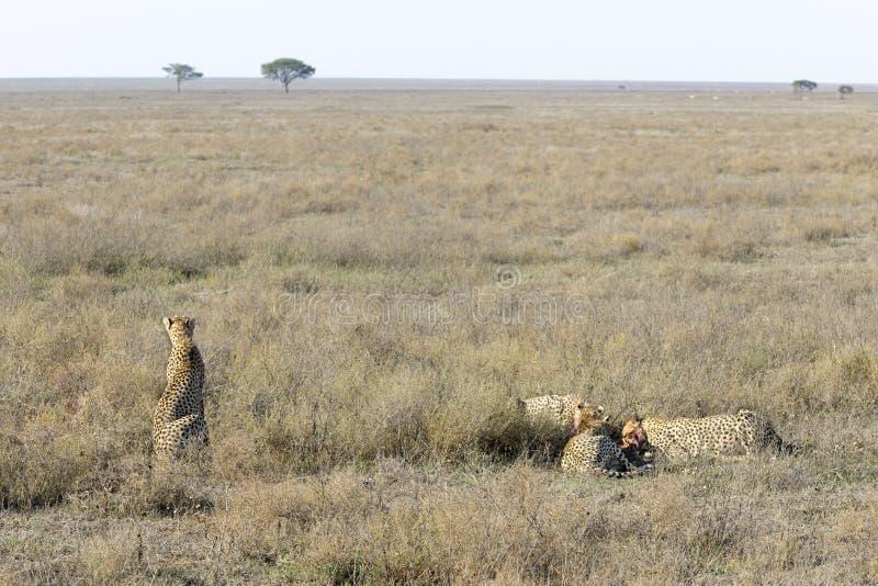 Gepard (Acinonyx jubatus) auf Savanne stockfotos