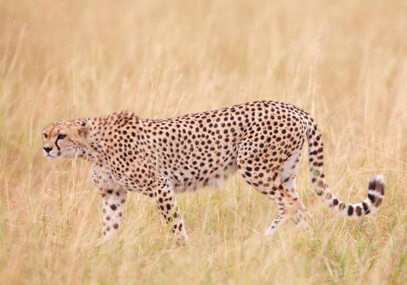 Gepard (Acinonyx jubatus) in der Savanne lizenzfreie stockfotografie