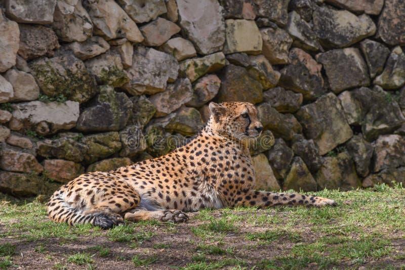 Gepard, Acinonyx jubatus, eine große Katze mit schlankem Körper, ein kleiner gerundeter Kopf, tiefer Kasten, lange dünne Beine un lizenzfreie stockbilder