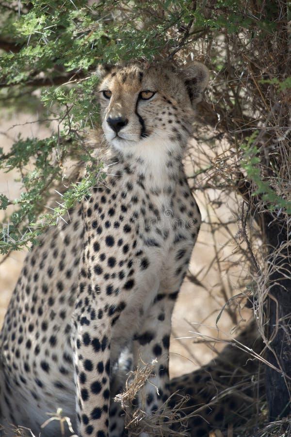 Gepard, Acinonyx jubatus, im Serengeti Staatsangehörigen lizenzfreies stockfoto