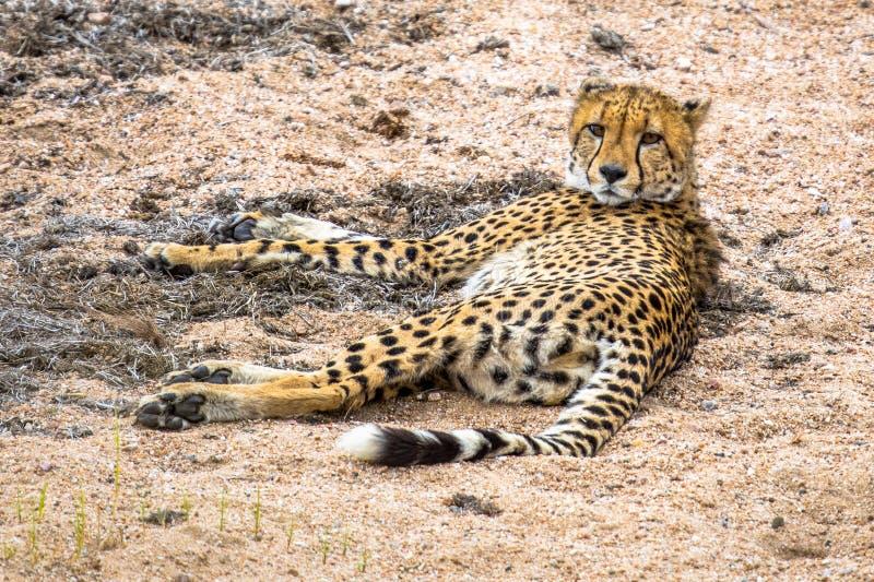 Gepard Acinonyx jubatus jugendliches Tierstillstehen lizenzfreie stockbilder