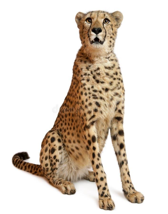 Gepard, Acinonyx jubatus, 18 Monate alte lizenzfreie stockbilder