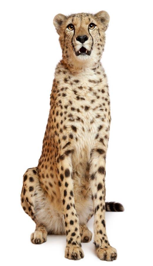 Gepard, Acinonyx jubatus, 18 Monate alte stockfotografie