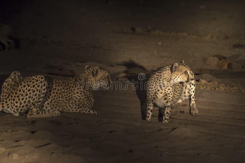 Gepard, Acinonyx jubatus przy wodopojem póżno, zdjęcia stock