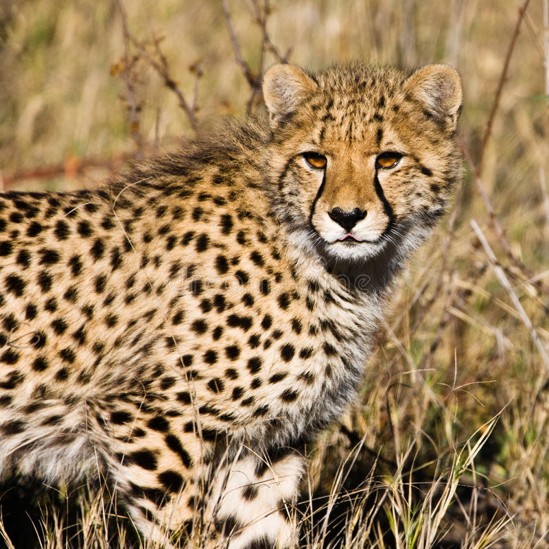 Gepard (Acinonyx jubatus soemmeringii) stockfotos