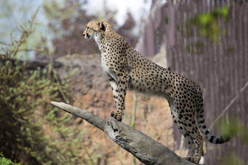 Gepard, Acinonyx jubatus, stojaki w bagażniku fotografia stock