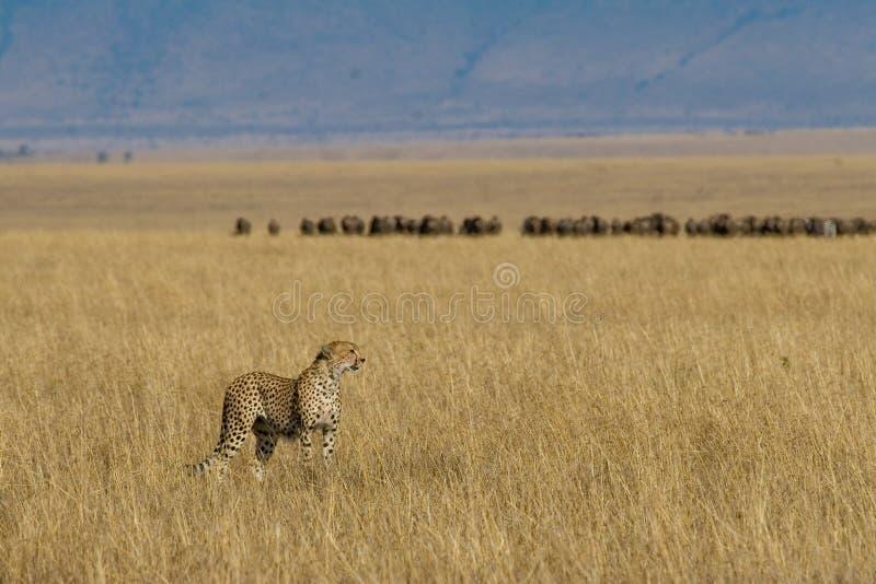 Gepard auf afrikanischen Ebenen stockfoto