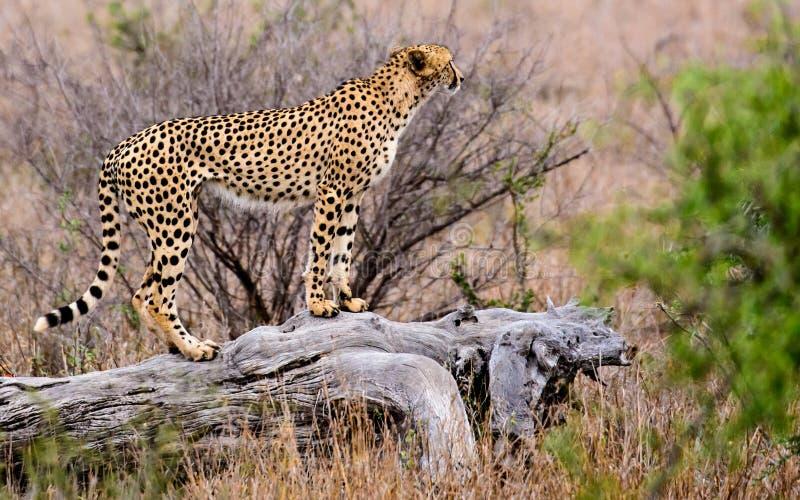Gepard auf dem Blick heraus stockbilder