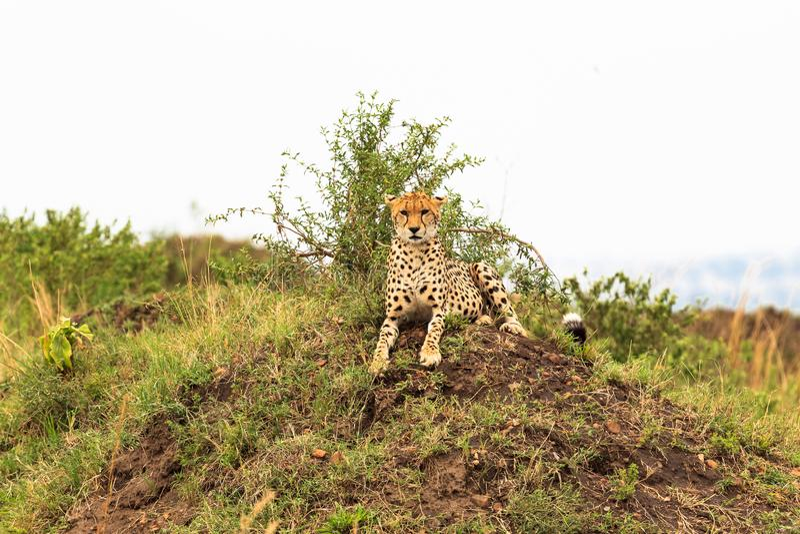 Gepard auf dem Hügel Beobachtungsstelle in der Savanne Masai Mara, Kenia stockbilder