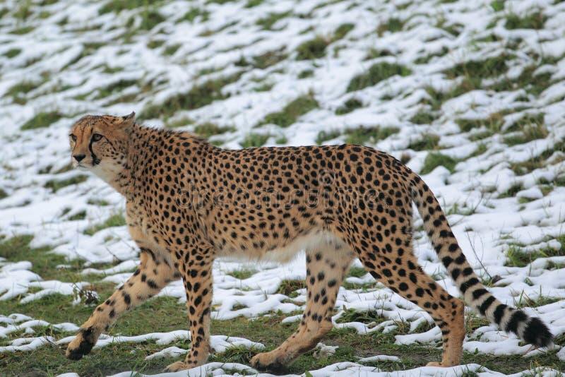Gepard auf Schnee stockbilder