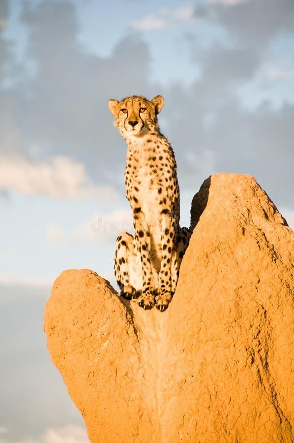 Gepard auf Termite-Damm stockfoto