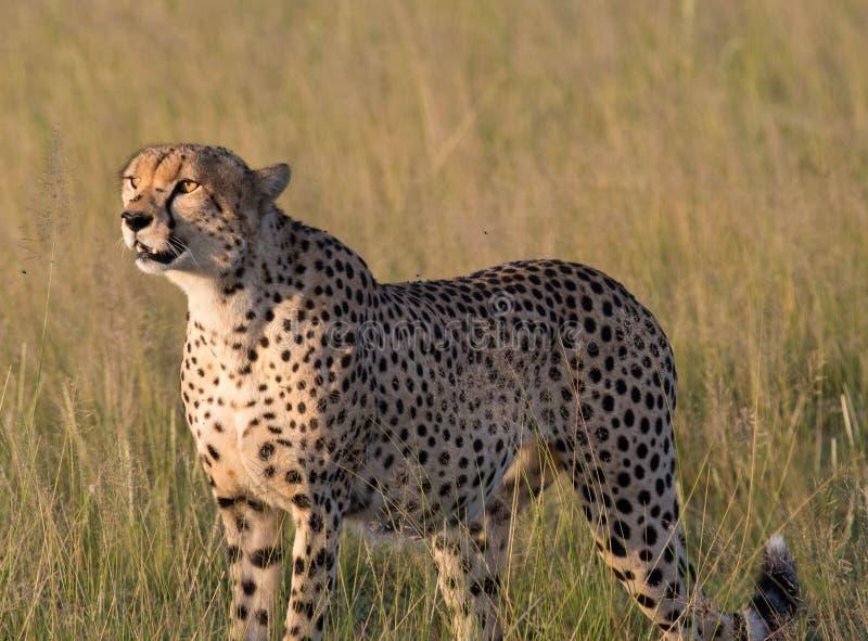 Gepard bei Sonnenuntergang stockbild