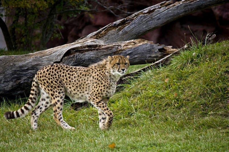 Gepard betriebsbereit zu laufen lizenzfreie stockfotos