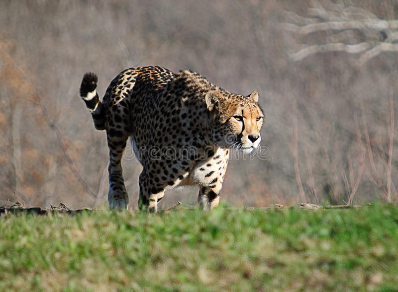 Gepard in Bewegung lizenzfreie stockbilder