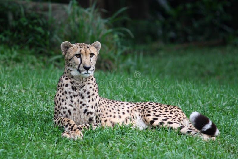 Gepard, der auf dem Gras liegt stockfoto