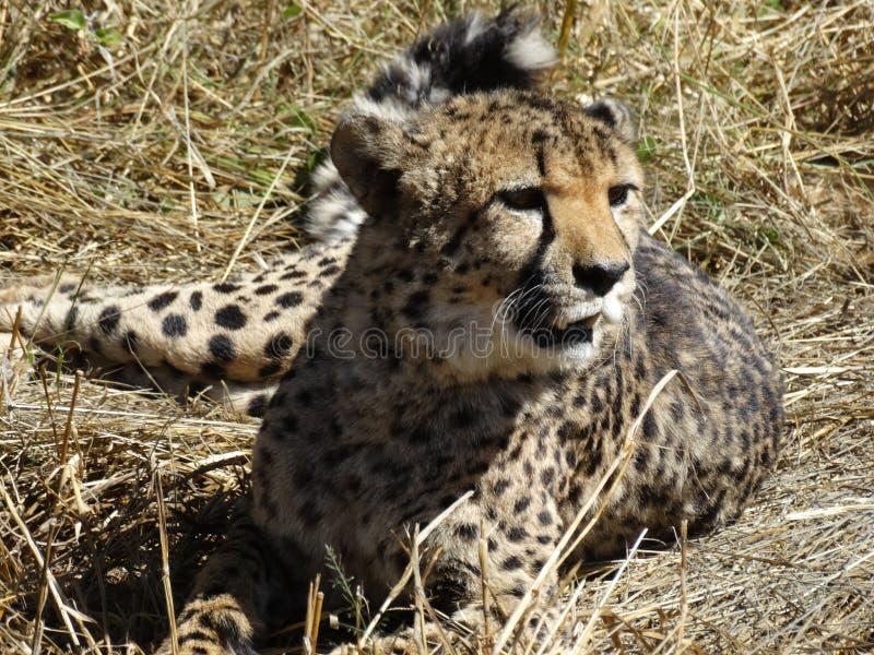 Gepard, der auf dem Gras sich entspannt lizenzfreies stockbild