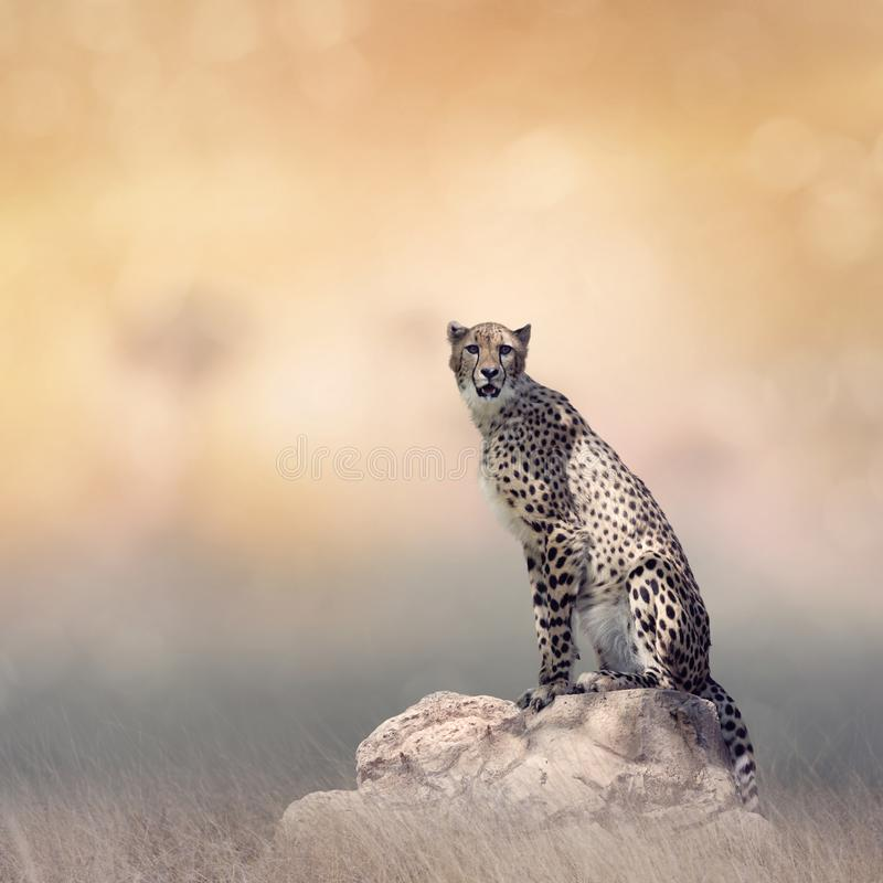 Gepard, der auf einem Felsen sitzt lizenzfreies stockbild