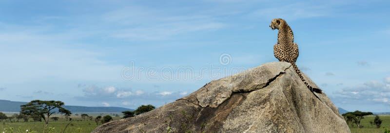Gepard, der auf einem Felsen sitzt und weg, Serengeti schaut lizenzfreie stockbilder