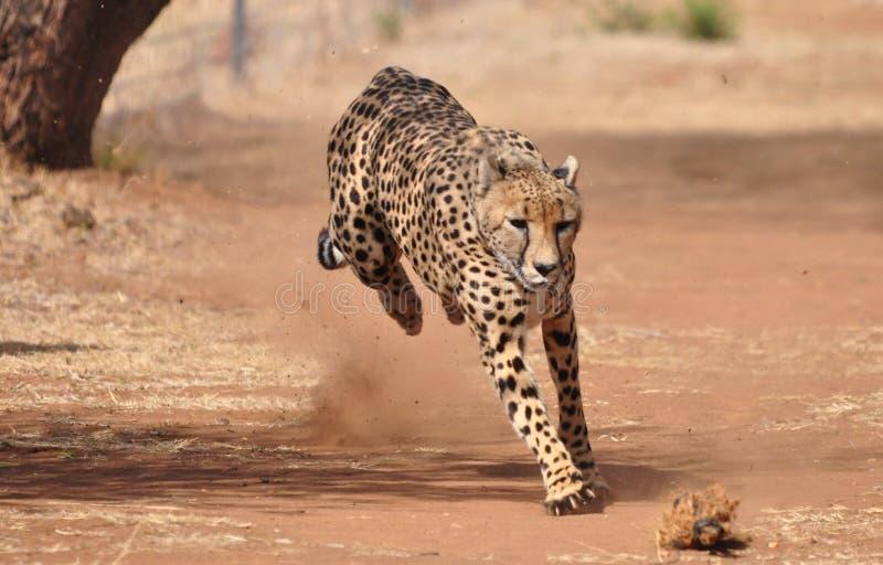Gepard, der durch das Jagen eines Köders 2 trainiert stockfotografie