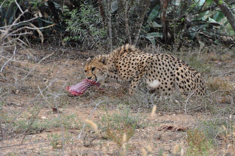 Gepard, der 2 einzieht stockfoto