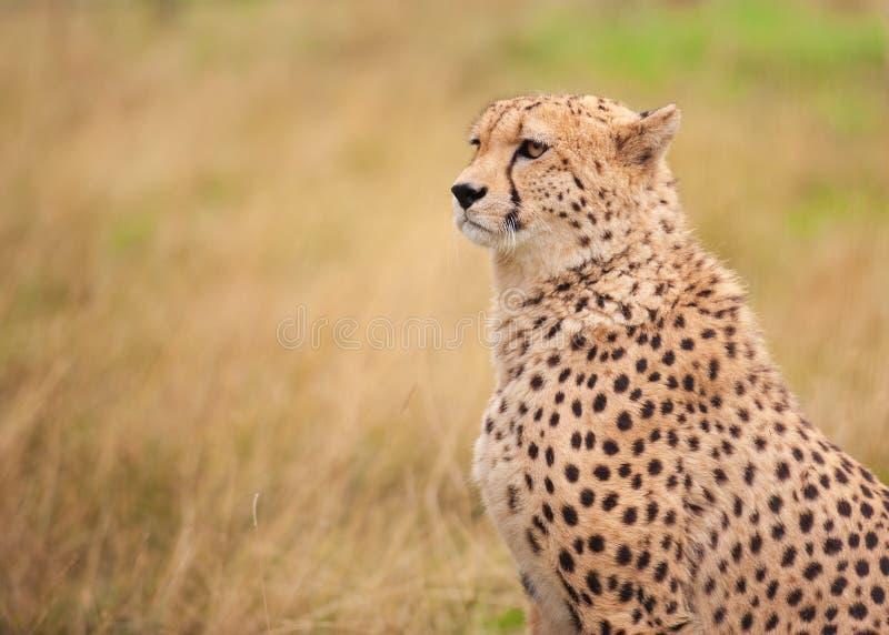 Gepard, der im hohen Gras sitzt stockfotografie