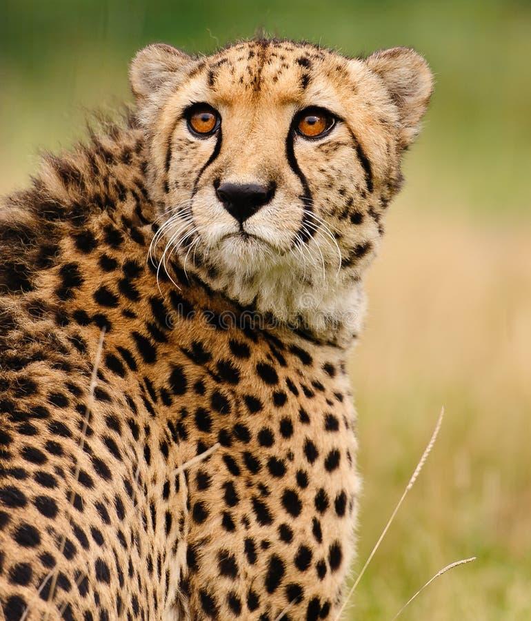 Gepard, der im hohen Gras sitzt stockbild