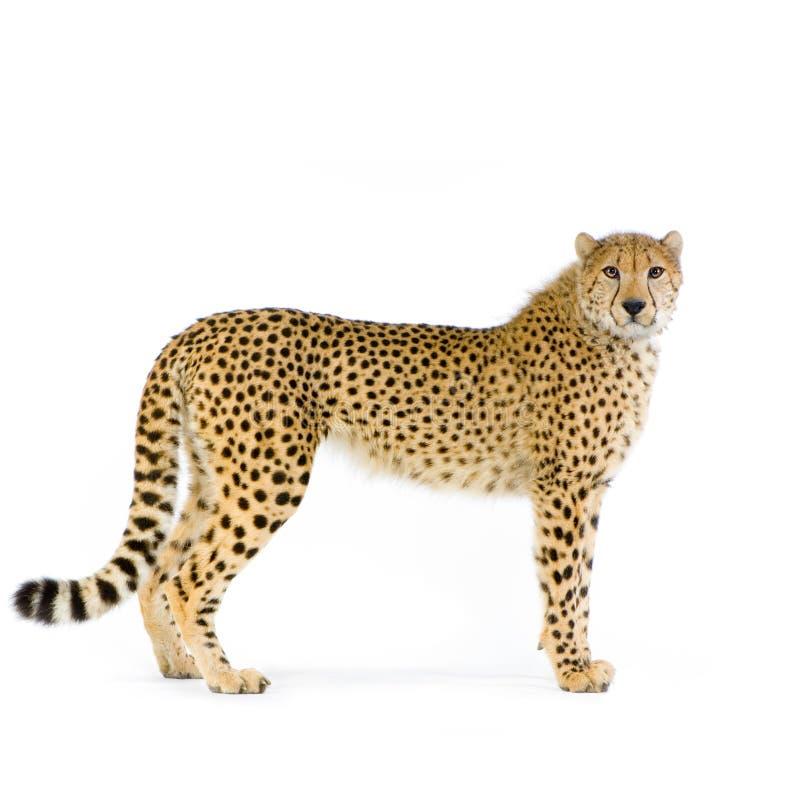 Gepard, der oben steht stockbilder