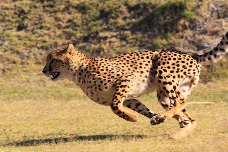 Gepard, der schnell läuft