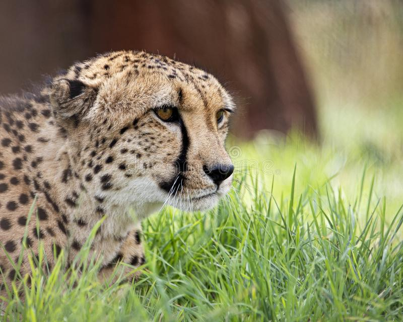 Gepard i fångenskap, stående royaltyfri fotografi