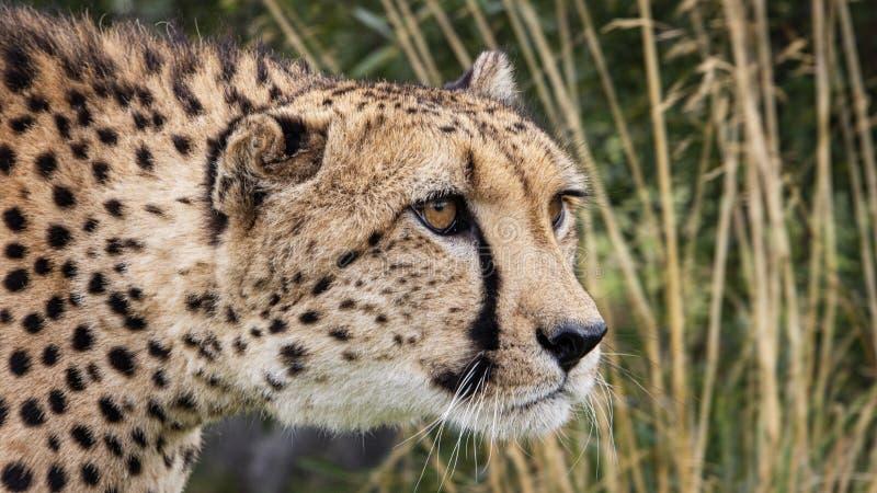 Gepard i fångenskap, stående royaltyfri bild