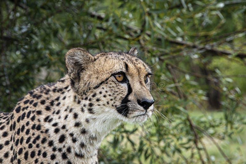 Gepard i fångenskap, stående royaltyfri foto