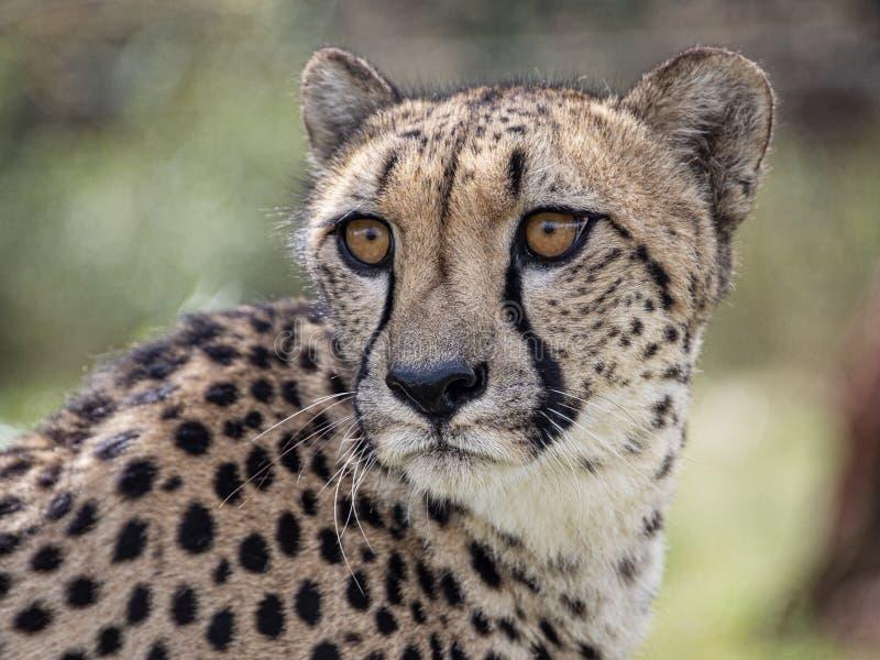 Gepard i fångenskap, stående royaltyfria bilder