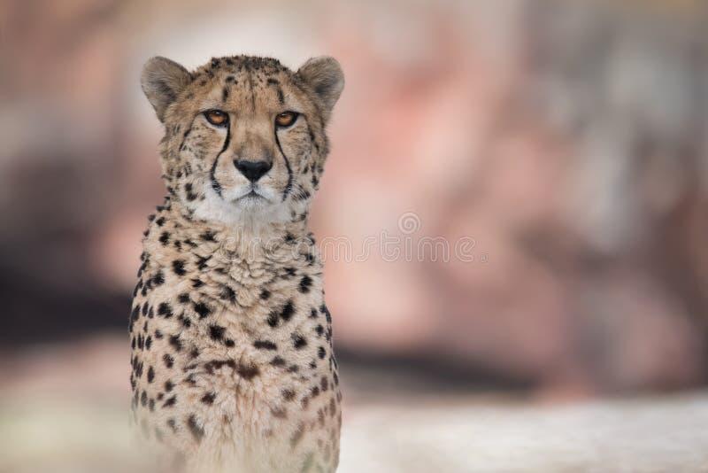 Gepard i skarp fokus med oskarp Bokeh bakgrund arkivfoto
