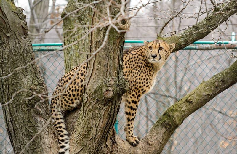 Gepard i träd royaltyfri bild
