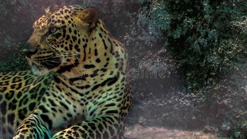 Gepard i zoo arkivfoto