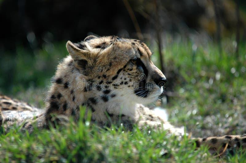 Gepard II stockfotografie