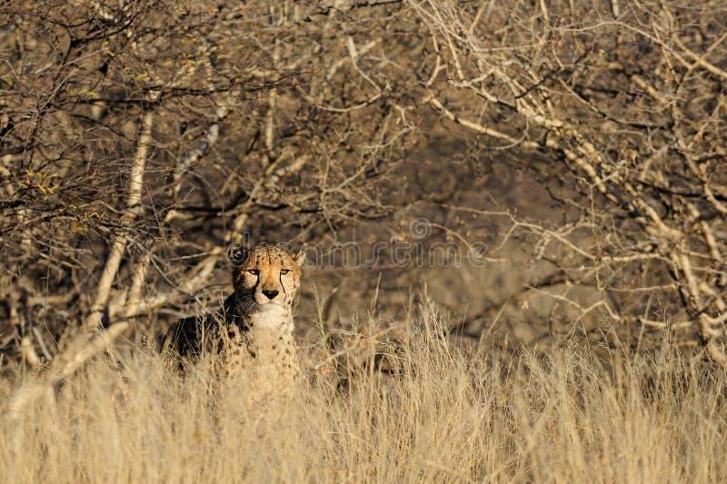 Gepard im Busch, Namibia stockbilder
